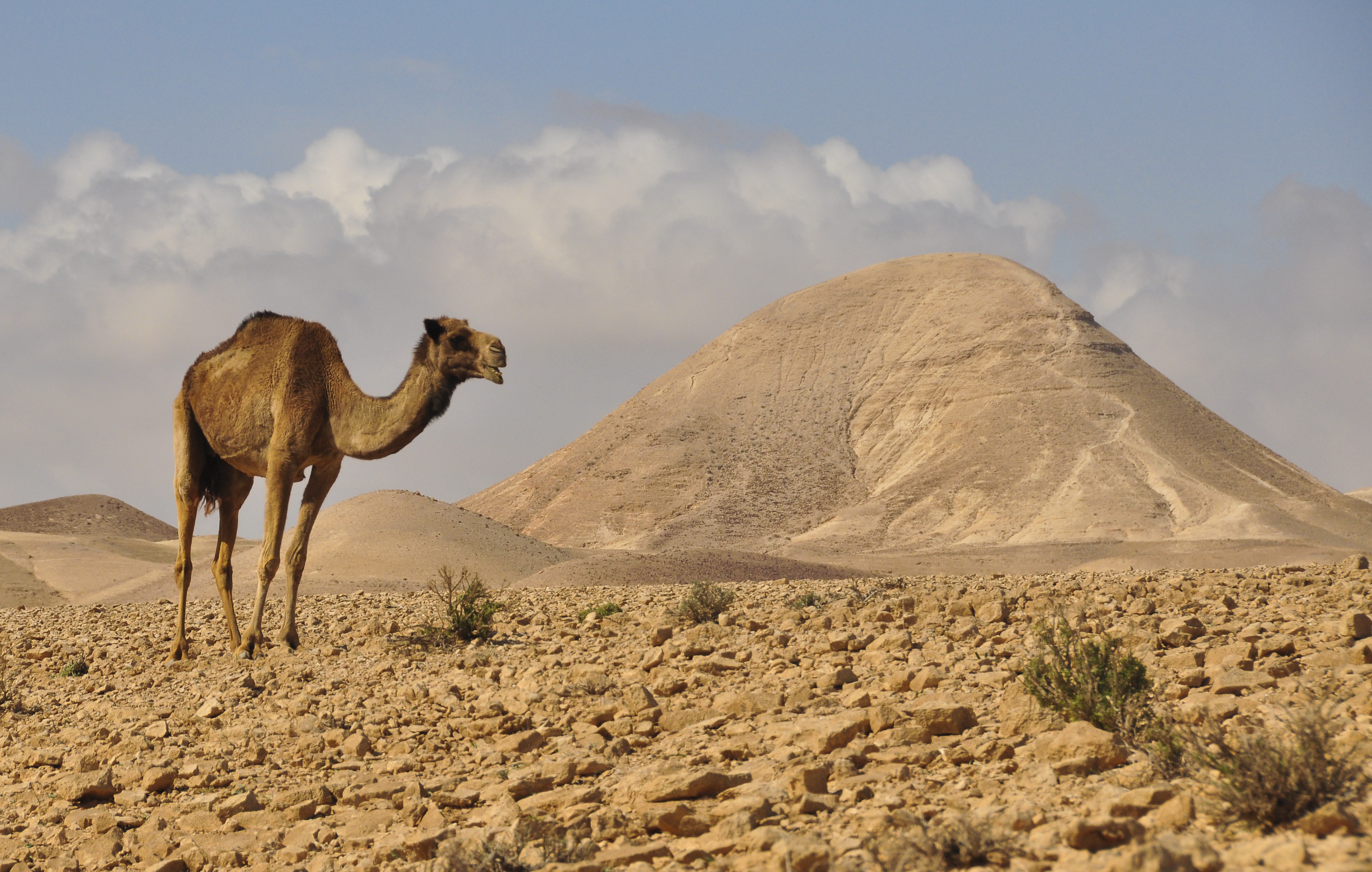 Was I Really Almost Traded For Camels In Israel Ozy A Modern Media Company